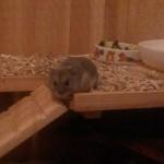 Hamster Gustl auf Erkundungstour